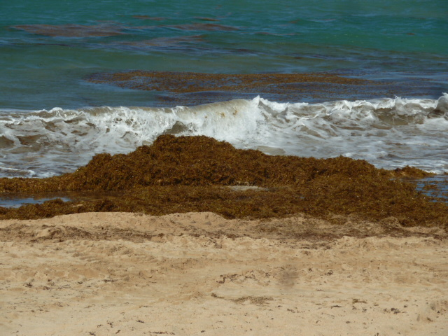 Caribbean and Mexico Seaweed Situation
